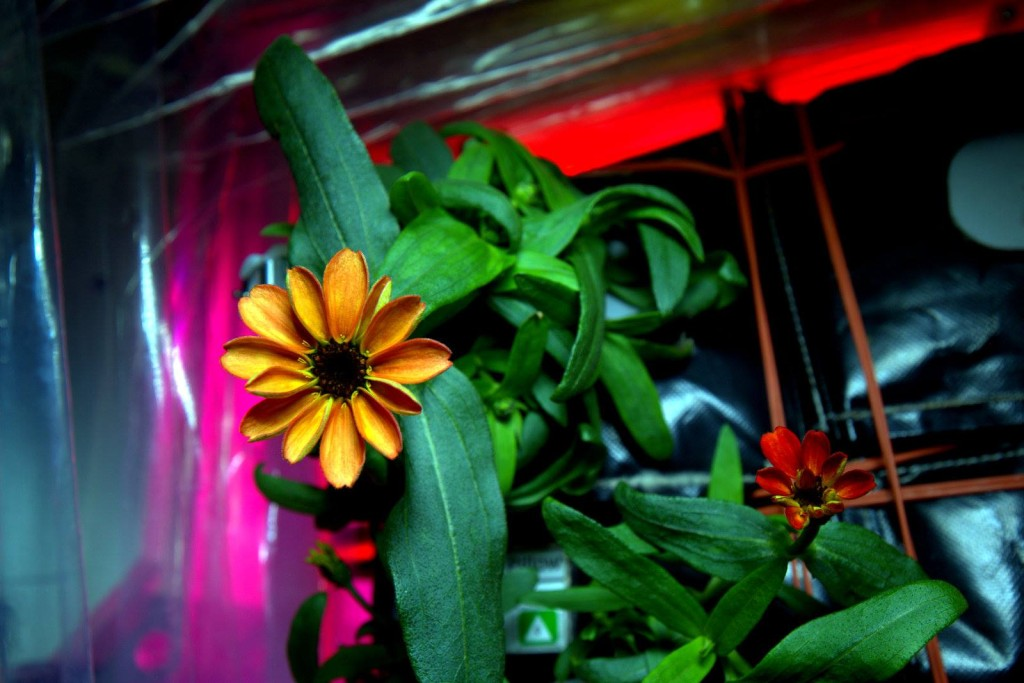 Commander Scott Kelly tweets photos of the first ever space flowers, zinnias, which bloomed on Jan. 16. Image Credit: NASA